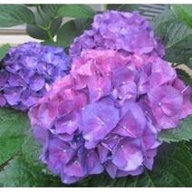 Colorful Hydrangea Blossoms | Springtime | Scoop.it