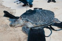 A Happy Story: Endangered turtle home after epic swim | Indigo Scuba | Scoop.it
