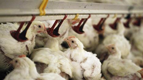 Farines animales : une traçabilité difficile à garantir | Hygiène et sécurité alimentaire | Scoop.it