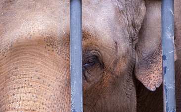 Exposing How Elephants Have Their Spirits Systematically Crushed in Captivity | Animal Cruelty | Scoop.it