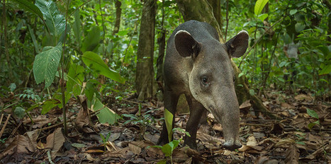 The surprising link between the tapirs of Costa Rica and climate change | Ensia | Chronique d'un pays où il ne se passe rien... ou presque ! | Scoop.it