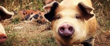 Les cochons heureux font-ils de la viande heureuse? | Comment va ma Planète ? | Scoop.it