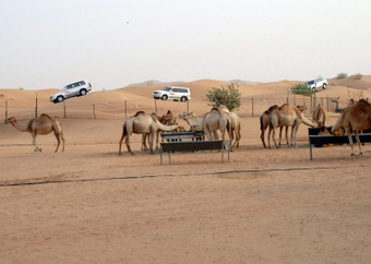 Experience Exceptional Safari Ride in Dubai | rakarekodamadama | Scoop.it