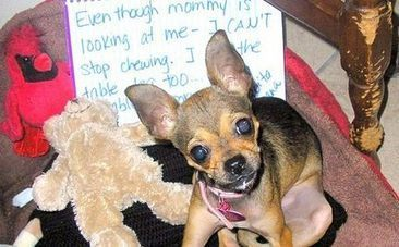 Family Fleeing Drug Warzone Saves Chihuahua With Boundless Love | This Gives Me Hope | Scoop.it