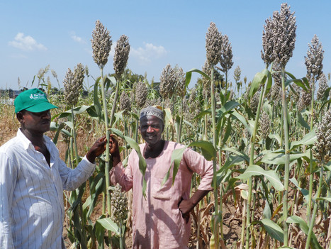 New sorghum varieties released in Nigeria with higher iron, yields and drought resilience - ICRISAT (2016)  | Ag Biotech News | Scoop.it