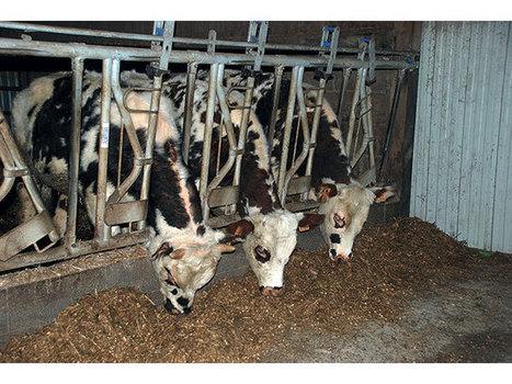 Des bovins nourris à l'herbe et mieux valorisés. | Conseil de saison Culture et Elevage - Agriculture | Scoop.it