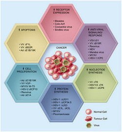 Oncolytic Virotherapy - Where Are We Going?   Virology and Bioinformatics from Virology.ca   Scoop.it
