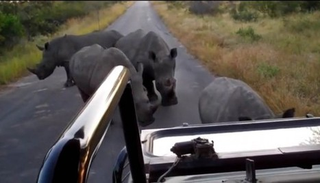 Rhino roadblock in Kruger Park (VIDEO)   The Citizen   Kruger & African Wildlife   Scoop.it