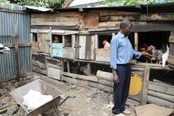 Nairobi Urban Farmers: Livestock Raised in the Slums Feeds Families and Provides Needed Income | PRI's The World | Vertical Farm - Food Factory | Scoop.it
