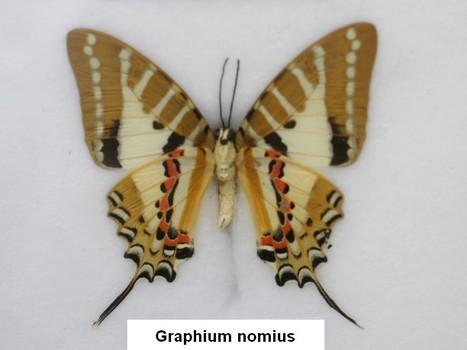 Photo de Papillon : Graphium nomius - Spot swordtail - Papillon exotique - Papillons asiatiques | Fauna Free Pics - Public Domain - Photos gratuites d'animaux | Scoop.it