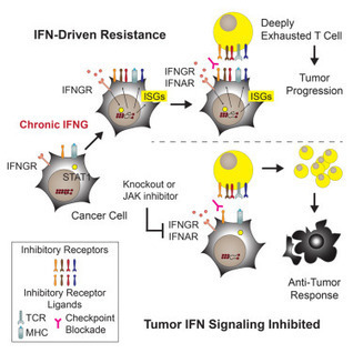 Tumor Interferon Signaling Regulates a Multigenic Resistance Program to Immune Checkpoint Blockade   Biotech Pharma Innovation in Immuno-Oncology & beyond. Cancer - Immunology - Immunotherapy.   Scoop.it