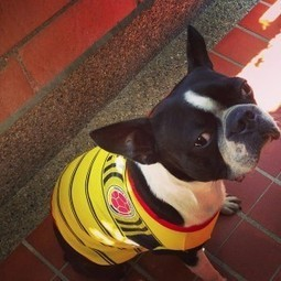 Ready to Brazil 2014 FIFA World Cup! Courage from Colombia (Photo) | Boston Terrier Dogs | Scoop.it