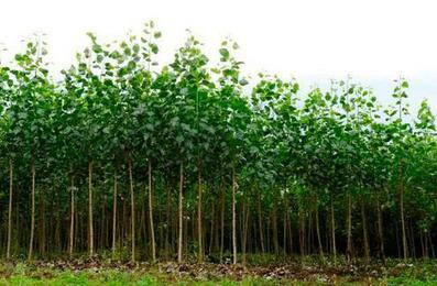 Plusieurs associations appellent à refuser le prolongement de l'essai de l'INRA sur les peupliers OGM | biofuel | Scoop.it