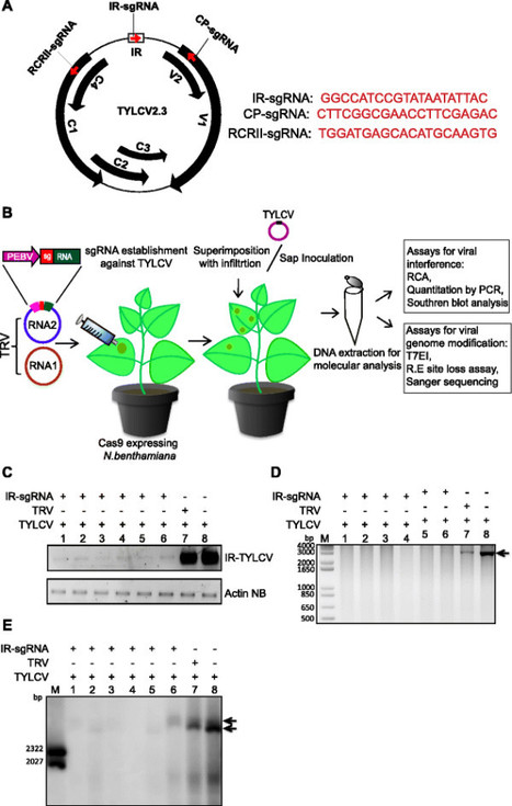 Genome Biology | Full text | CRISPR/Cas9-mediated viral interference in plants | plant-microbe interactions | Scoop.it