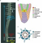 Frontiers | Epigenetic Control of Cell Division and Cell Differentiation in the Root Apex | Plant Evolution and Development | Plant Gene Seeker -PGS | Scoop.it