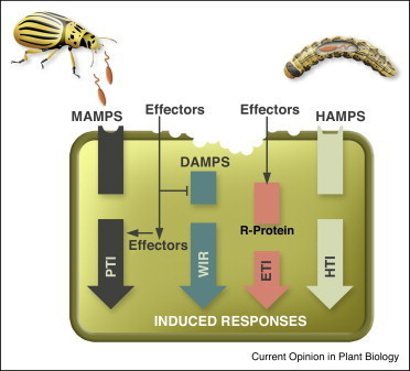 Cues from chewing insects — the intersection of DAMPs, HAMPs, MAMPs and effectors | Emerging Research in Plant Cell Biology | Scoop.it