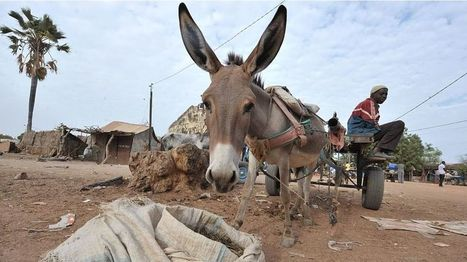 Niger bans the export of donkeys after Asian demand - BBC News | International aid trends from a Belgian perspective | Scoop.it