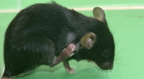 OGM, le sacrifice des rats | Abeilles, intoxications et informations | Scoop.it