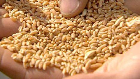 Grain storage under microscope   Grain Handling and Storage   Scoop.it