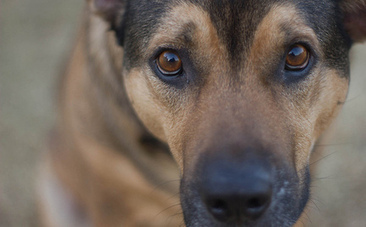 Talk Human to Me: Dogs Understand Us Better than Chimps | Dogs | Scoop.it