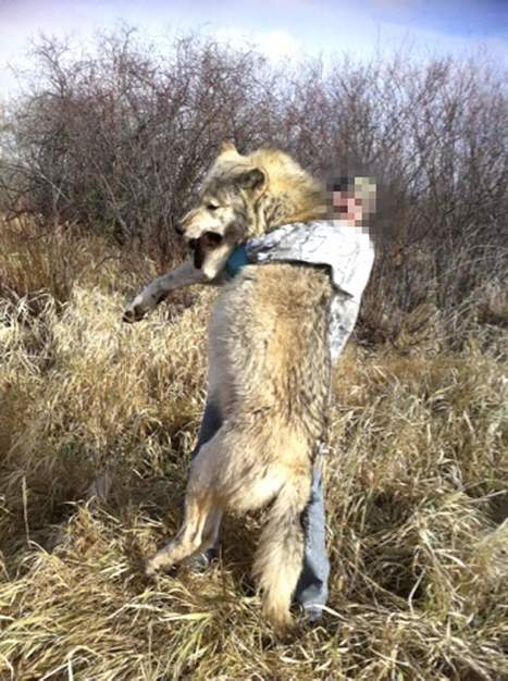 Trapper captures pet-preying wolf | The End Times | Scoop.it