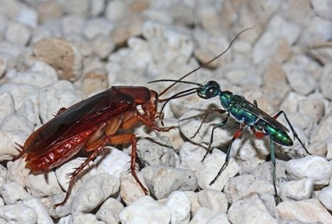 Emerald Cockroach Wasp Is Both Neurochemist And Microbiologist - Science News - redOrbit | Microbial World | Scoop.it