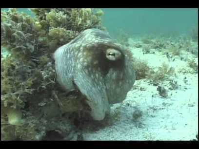 Camouflaged Octopus Uses Thousands Of Tiny Chromatophores and Reflectors To Match Surroundings | Amazing Science | Scoop.it