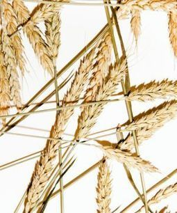 Gluten Sensitivity May Not be Real After All | Food Science and Technology | Scoop.it