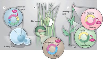Regulation of Flowering by Trehalose-6-Phosphate Signaling in Arabidopsis thaliana | Plant Genetics, NGS and Bioinformatics | Scoop.it