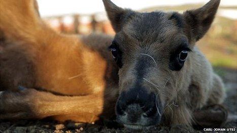 The reindeer herders battling a mine | Sustain Our Earth | Scoop.it