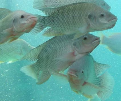 Brazil calls on Israeli technology to boost aquaculture - Jewish Business News | Seafood | Scoop.it