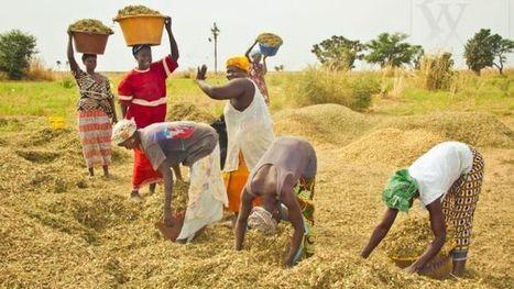 Sénégal : les femmes marginalisées dans l'accès aux terres agricoles (étude)   Actualité économique et sociale en Afrique sub-saharienne   Scoop.it