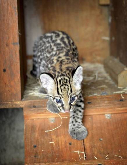 Dallas Zoo welcomes Lindy, a rare ocelot kitten - Dallas Morning News | Cats | Scoop.it