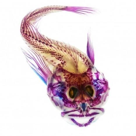 Amazing Pictures of See-Through Fish - NatGeo News Watch (blog) | Fish: 21st Century Design Essentials | Scoop.it
