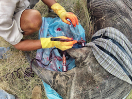 Dye and Poison Stop Rhino Poachers - Scientific American (blog) | Save our Rhino...this is what it looks like!!!!! | Scoop.it
