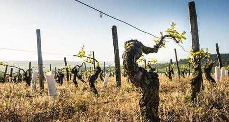 S'affranchir des contraintes très strictes de l'AOC en Bourgogne ? : | Le Vin et + encore | Scoop.it