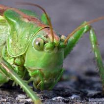 Sauterelle en tapas : restaurant à insectes - Musique.Evous.fr | insectes comestibles | Scoop.it