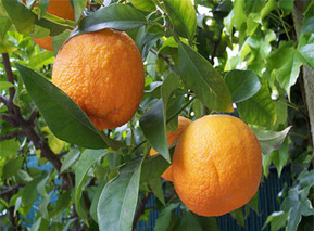 Egypt's Exports of Citrus Attained EGP588 mln in Jan 2013 | Égypt-actus | Scoop.it