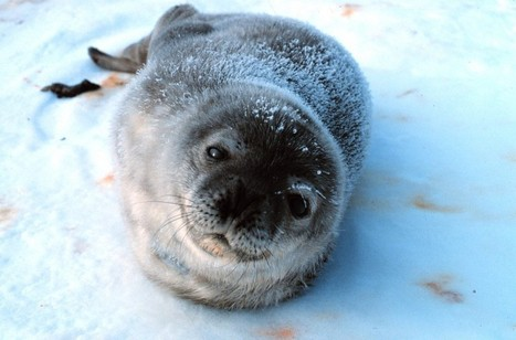 Canada Ignores Worldwide Outrage: Inhumane Seal Hunt Starts Today | The Peoples News | Scoop.it
