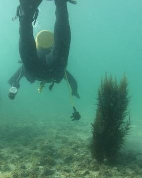 USC Dornsife Scientific Diving: An Analysis of Sargassum Horneri Ecosystem ... - Scientific American (blog) | ScubaObsessed | Scoop.it