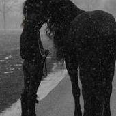 Sandra Verhoeven (sandraverhoeven) on about.me | Friesian horses | Scoop.it