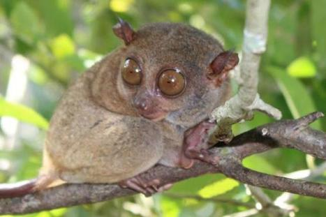 Philippine tarsiers now among most endangered primates | Earth Citizens Perspective | Scoop.it