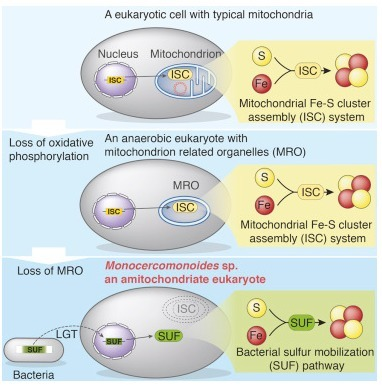 A Eukaryote without a Mitochondrial Organelle | Protist evolution and biology | Scoop.it