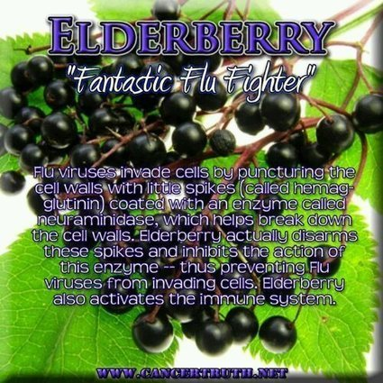 Elderberry – The most antiviral fruit known to man | Better half, and best half. | Scoop.it