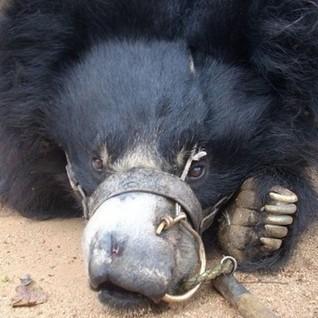 Wildlife SOS- Save Nepal's 'dancing bears' | Wildlife SOS' Fundraiser on CrowdRise | Nature Animals humankind | Scoop.it