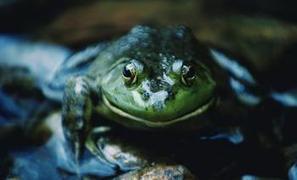 Au secours des amphibiens - La Dépêche   Vallée d'Aure - Pyrénées   Scoop.it