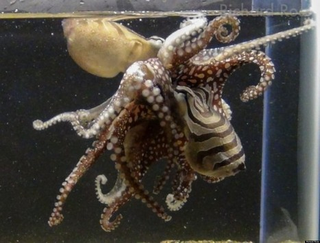PHOTOS: Rare Kissing #Octopus Unveiled For The First Time | Rescue our Ocean's & it's species from Man's Pollution! | Scoop.it
