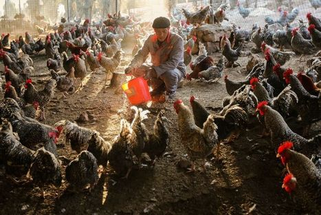 New Gene Map of Deadly Bird Flu Points to Pandemic Concerns   Science, Technology, and Current Futurism   Scoop.it