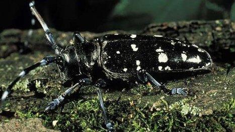 Ravageur des feuillus : le Capricorne asiatique s'installe en Corse | EntomoNews | Scoop.it