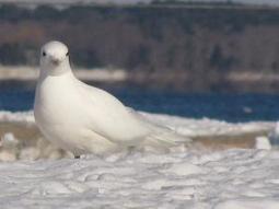 Ivory gulls threatened by eggshell thinning   Gaia Diary   Scoop.it